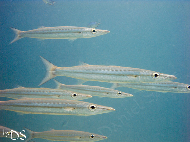 School of Yellow tailed Snapper fish & juv. Barracudas